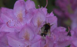 hummel-nektar-sammeln